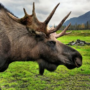 Moose Close Up at Alaska Wildlife Conservation Center in Portage, Alaska - Encircle Photos