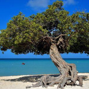 Iconic Divi-divi Tree at Eagle Beach near Oranjestad, Aruba - Encircle Photos