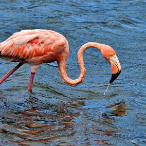 Close Up of Flamingo Feeding North of Kralendijk, Bonaire - Encircle Photos
