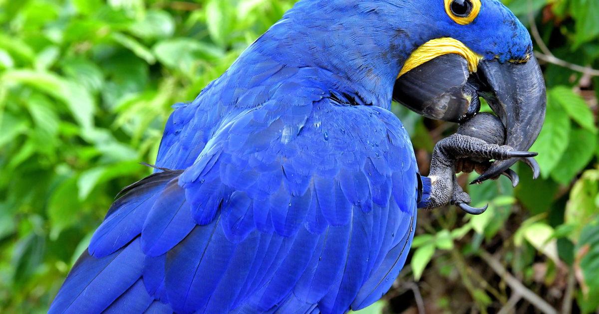 Hyacinth Macaw in Boca da Valeria, Brazil - Encircle Photos