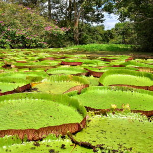 Water Lilies in Boca da Valeria, Brazil - Encircle Photos