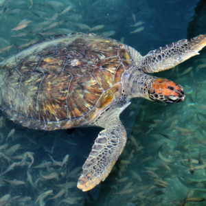 Sea Turtle along Fishermen's Pier in Búzios, Brazil - Encircle Photos