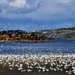 Migrating Snow Geese at Ha! Ha! Bay in Saguenay, Canada - Encircle Photos