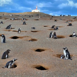 Penguin Colony at Penguin Reserve on Magdalena Island, Chile - Encircle Photos