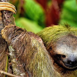 Three-toed Sloth Clutching Tree in Limón, Costa Rica - Encircle Photos