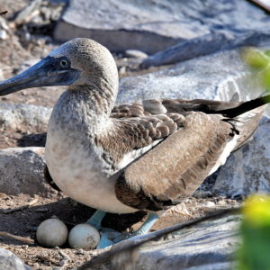 Blue-footed Booby on Eggs at Punta Suárez on Española Island in Galápagos, EC - Encircle Photos