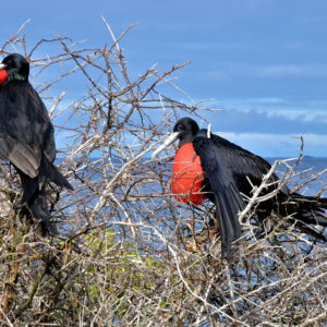Two Male Magnificent Frigatebirds on North Seymour in Galápagos, EC - Encircle Photos