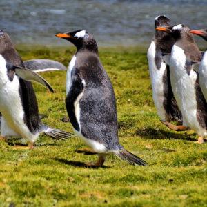 Gentoo Penguin Colony at Bertha's Beach in Falkland Islands - Encircle Photos