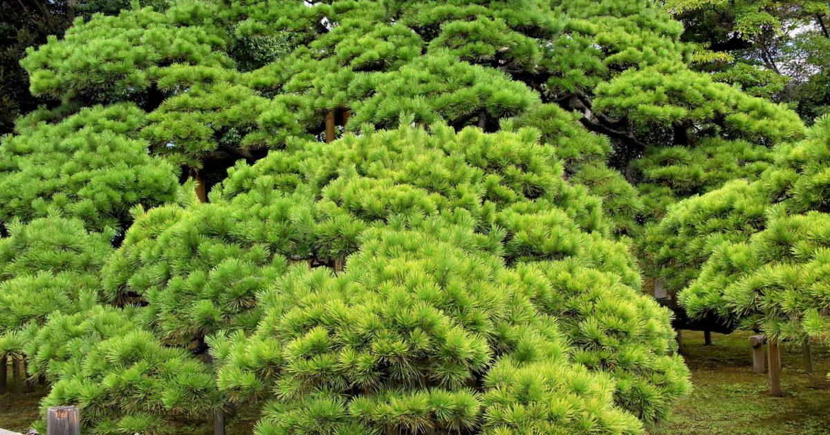 300-Year Pine at Hama-rikyu Gardens in Tokyo, Japan - Encircle Photos